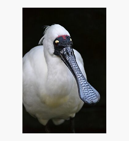 Royal Spoonbill Photographic Print