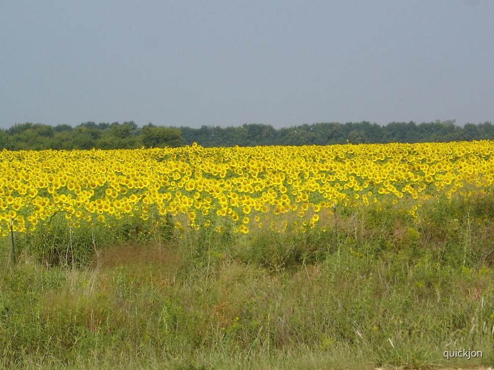 Sunflower field by quickjon