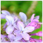 Flower | Flowers | Spring Lilacs | Nadia Bonello | Canada by Nadia Bonello