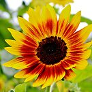 Sunflower Smile by Cynthia48