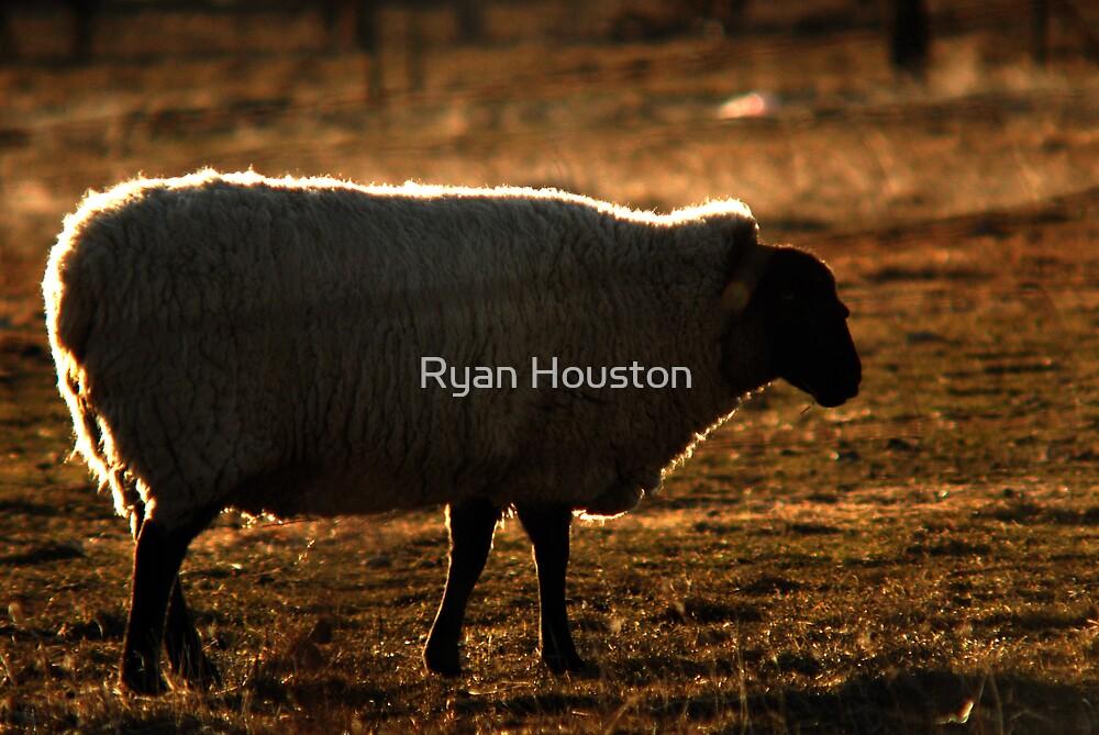 Sheep - Backlighting by Ryan Houston