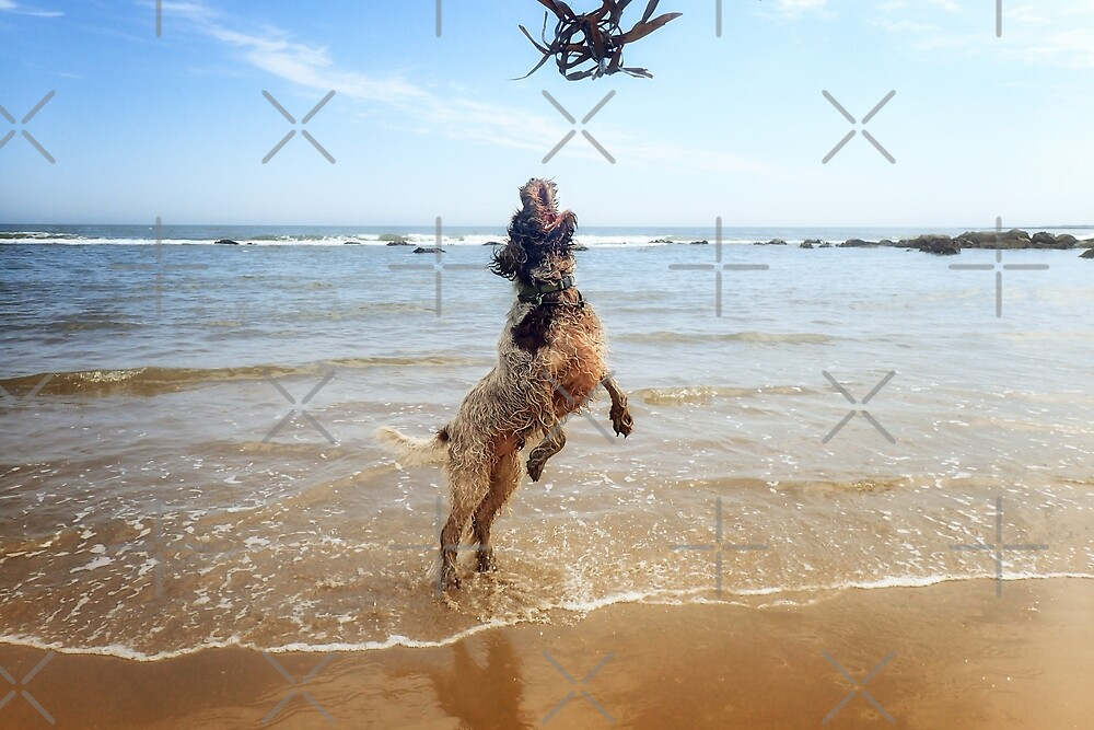 Brown Roan Italian Spinone at the beach by heidiannemorris