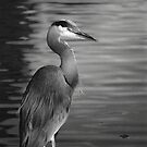 The Stillnes Of Nature Enjoyed By The Blue Heron B/W by Shawnna Taylor