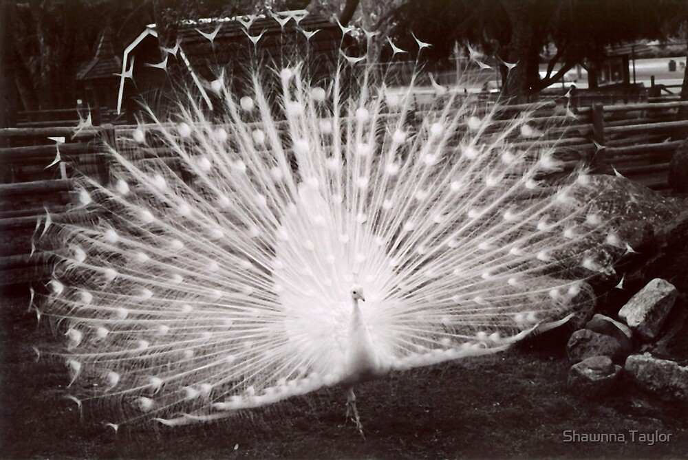 Male Peacock With Full Feather Display In Mating Ritual B/W by Shawnna Taylor