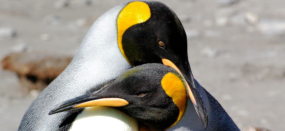 King Penguin couple by Sandy Greenwood
