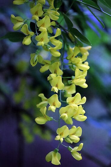 Laburnum flowers by Catherine Maughan