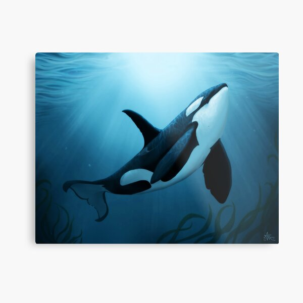 """""""The Dreamer"""" by Amber Marine ~ (Copyright 2015) orca art / killer whale digital painting Metal Print"""