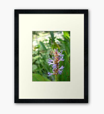 Handsome Meadow Katydid Nymph on Pickerel Weed Framed Print