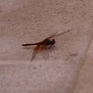 Dragon Fly on my cement wall  by leih2008