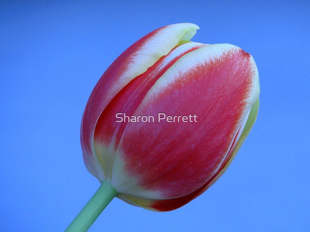 Tulip by Sharon Perrett