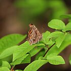 Eastern Comma Butterfly by hummingbirds