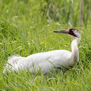 Whooping Crane 2017-9 by Thomasyoung