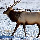 Royal Elk in Jackson, Wyoming by Nancy Richard