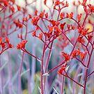 Red Kangaroo Paw by Werner Padarin