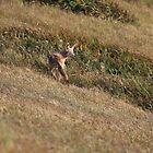 Coyote by Laura Puglia