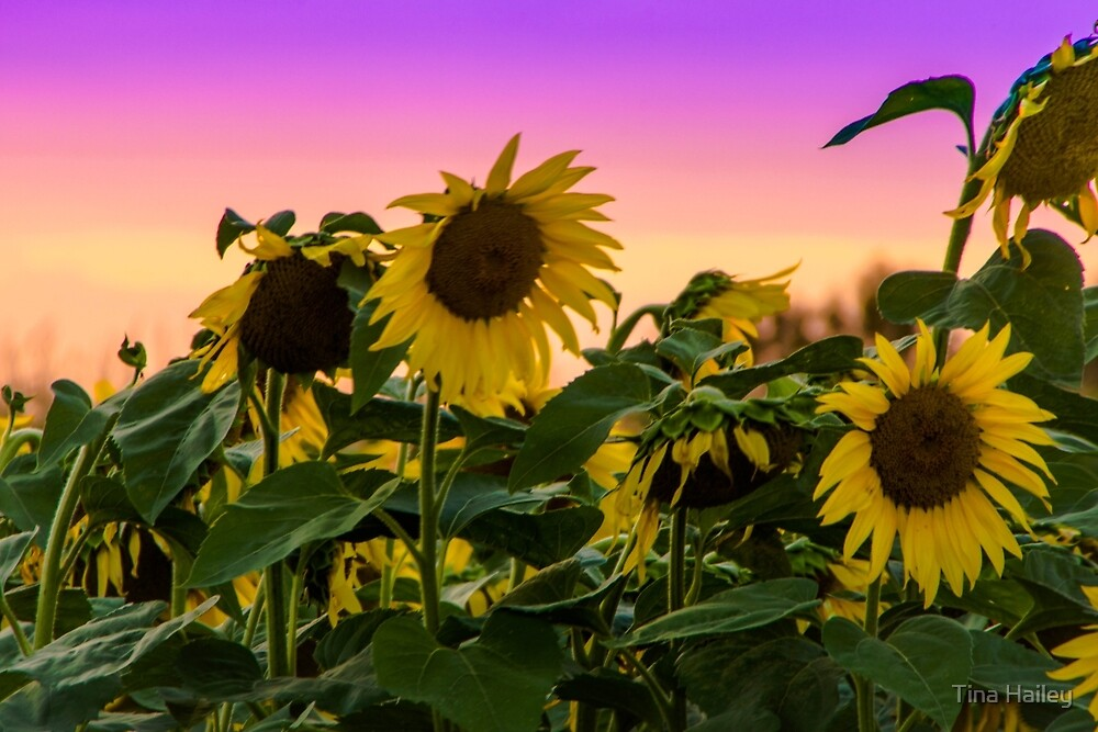 Sunflowers At Sunset by Tina Hailey