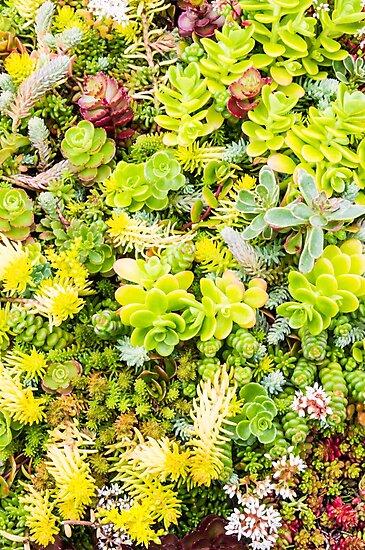 Sedum plants by Zigzagmtart