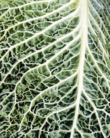 Savoy cabbage leaf close up by Zigzagmtart