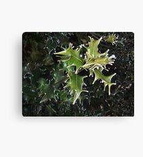 cold holly Canvas Print