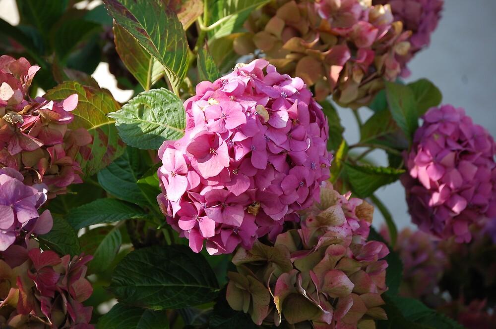 Pink Flowers by Anton Perrins