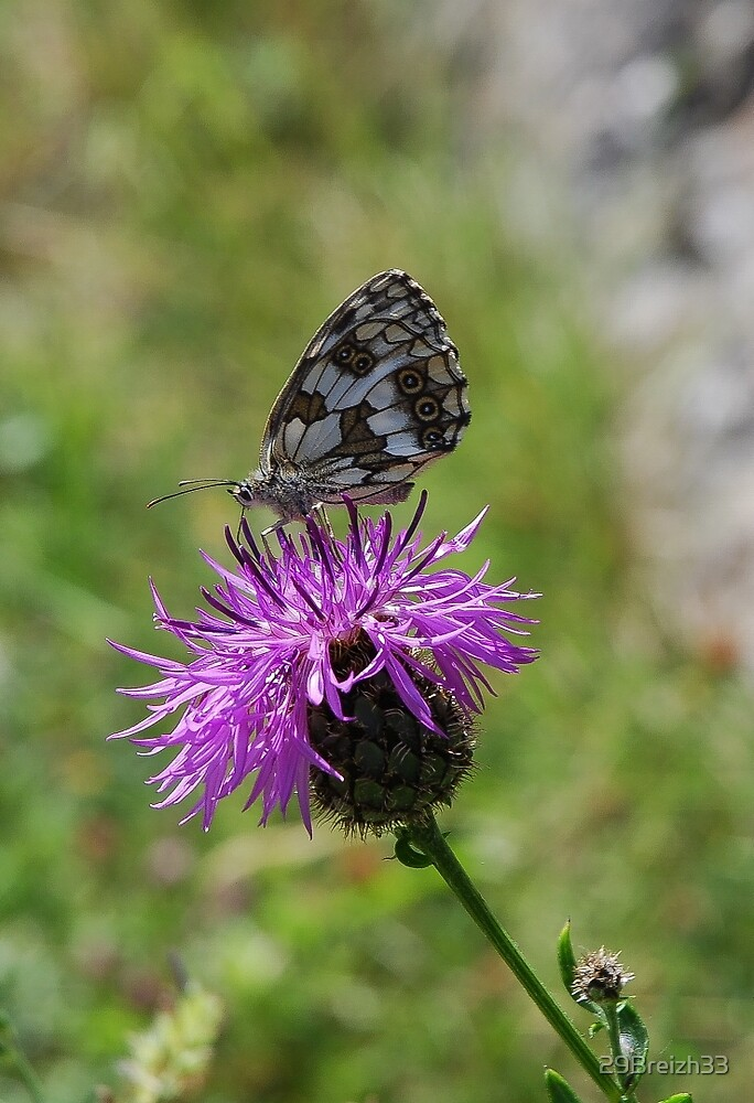 Thistle and butterfly by 29Breizh33
