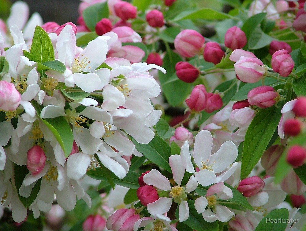 Crab apple blossom by Chris Quinlan