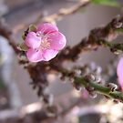 """Peach trees are blooming in So. California!  """"We're in the pink"""" LOVES IT! by leih2008"""