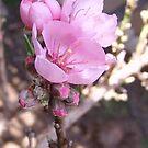 Peach Tree in Bloom - Dwarf Peach Tree Blooms, La Mirada, CA USA  (864 Views 5-12-11) by leih2008