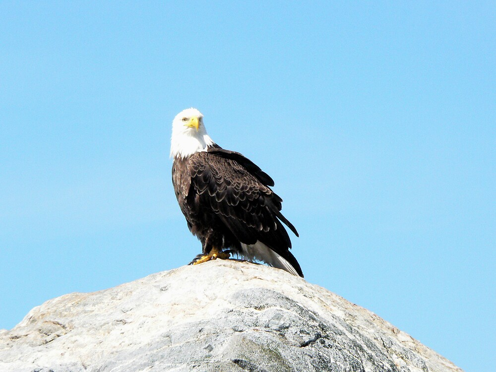 Eagle by Kimberly Innes
