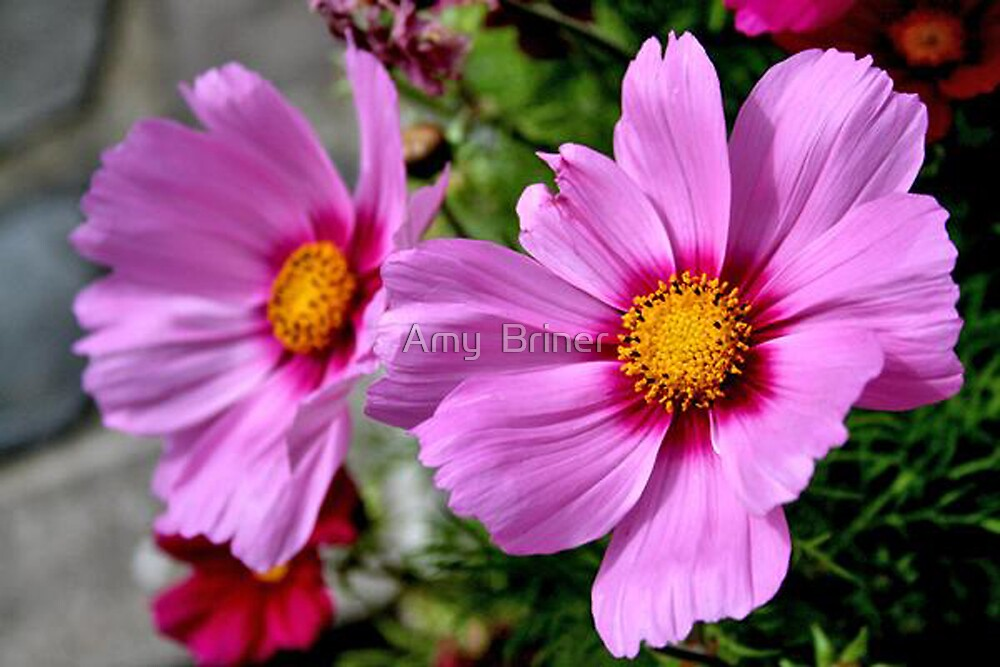 Pink Flowers by Amy  Briner