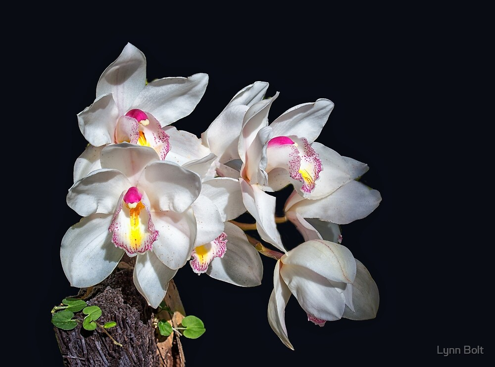 White Orchids by Lynn Bolt