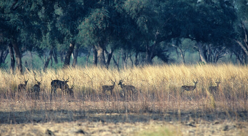 Impala in the Tall Grass. by bertspix