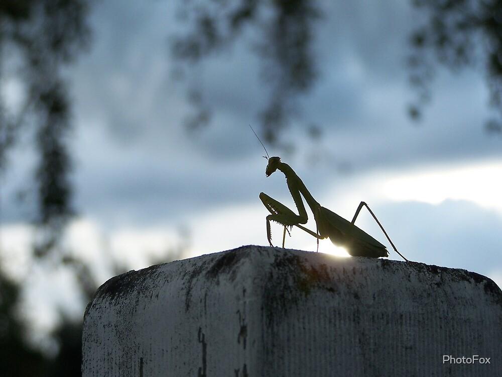 Praying Mantis by PhotoFox
