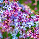 Blooming Lilacs by PhotosByHealy