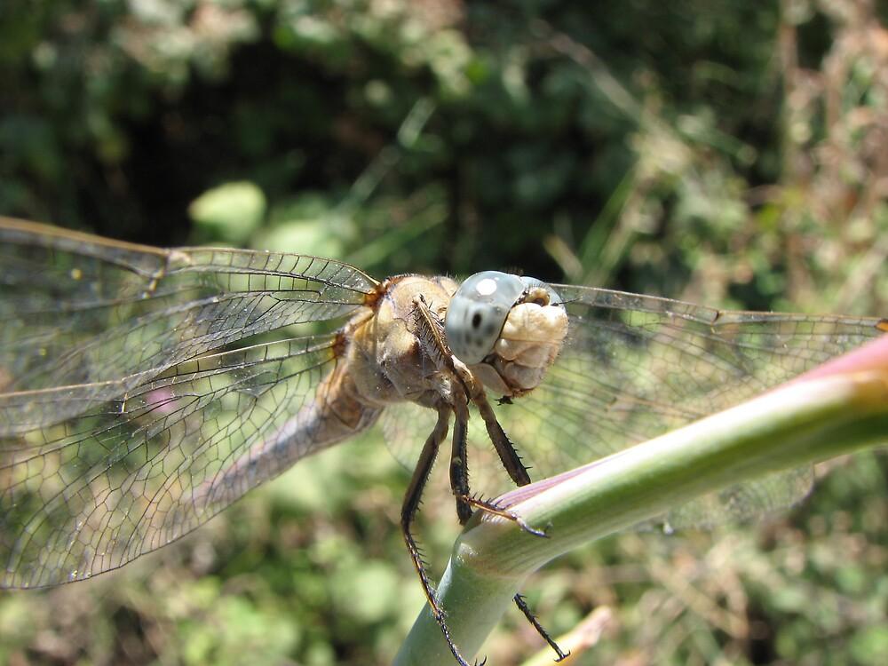dragonfly by johantholome