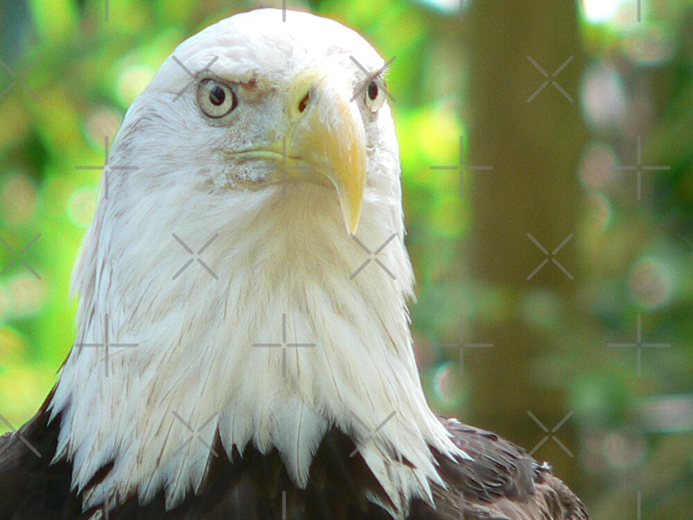 American Bald Eagle by kevint