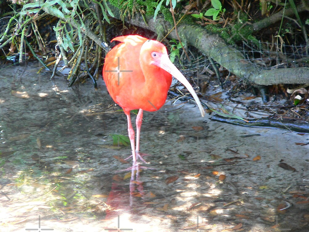 Red Ibis by kevint