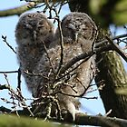 Tawny Owlets by Barrie Woodward