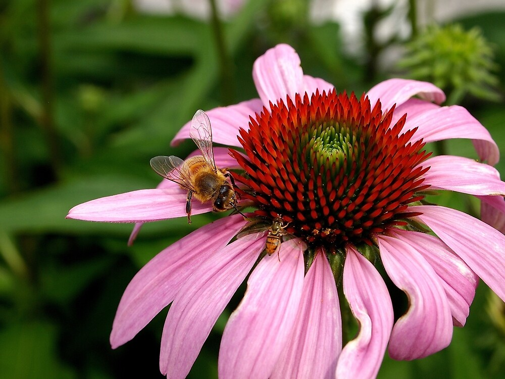 A bee gathering on purple coneflower by Douglas E.  Welch