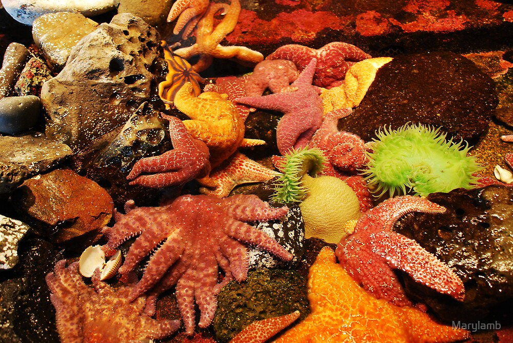 Sea Anemones & Star Fish Oregon Coast by Marylamb