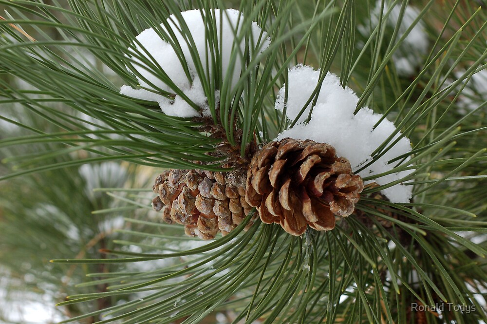 Snowy Pine Cones by Ronald Todys