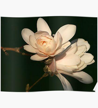 Magnolia Blush Poster