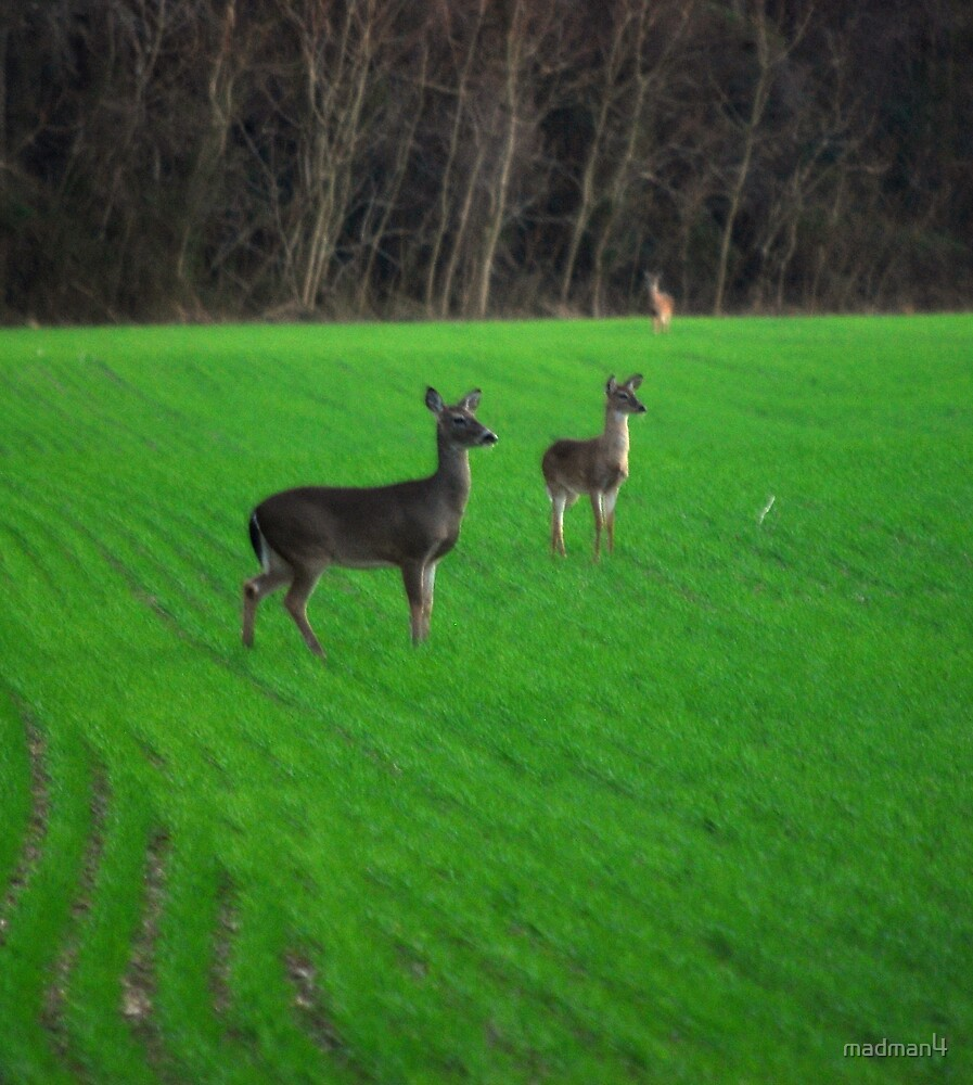 Whitetail Deer Grazing by madman4