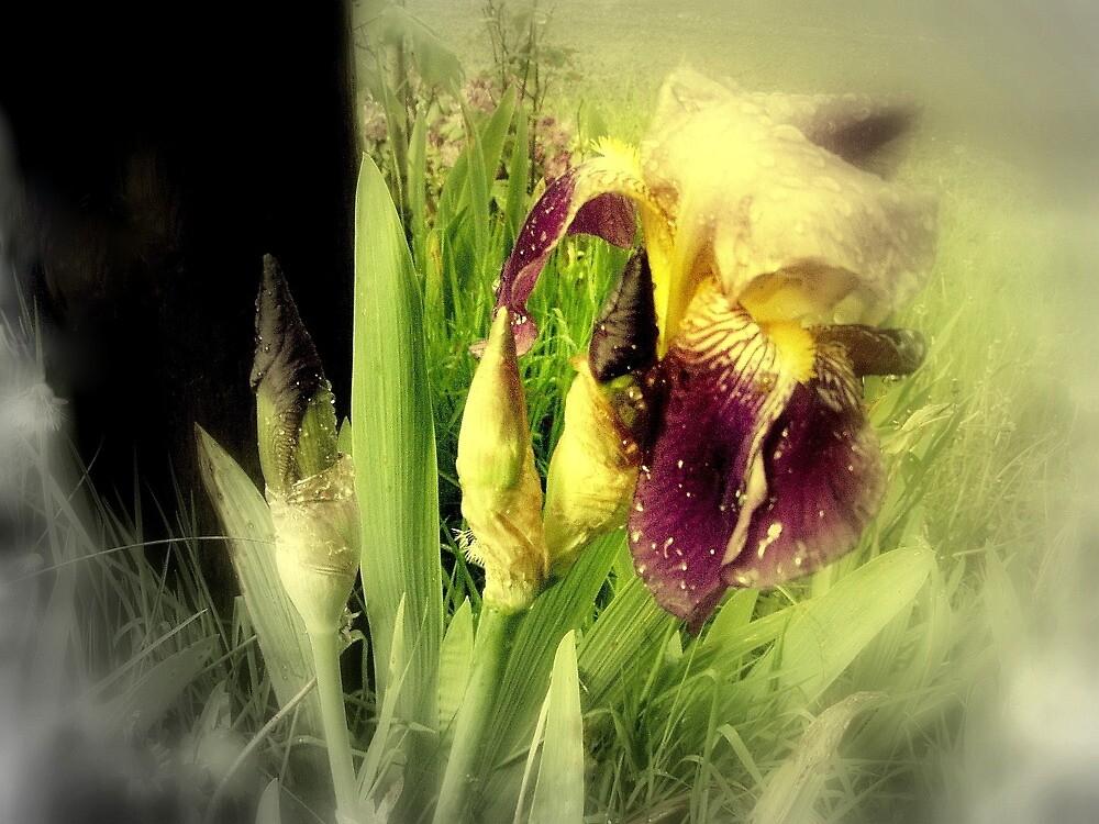 Raindrops on Purple Irises #5 by Dawna Morton