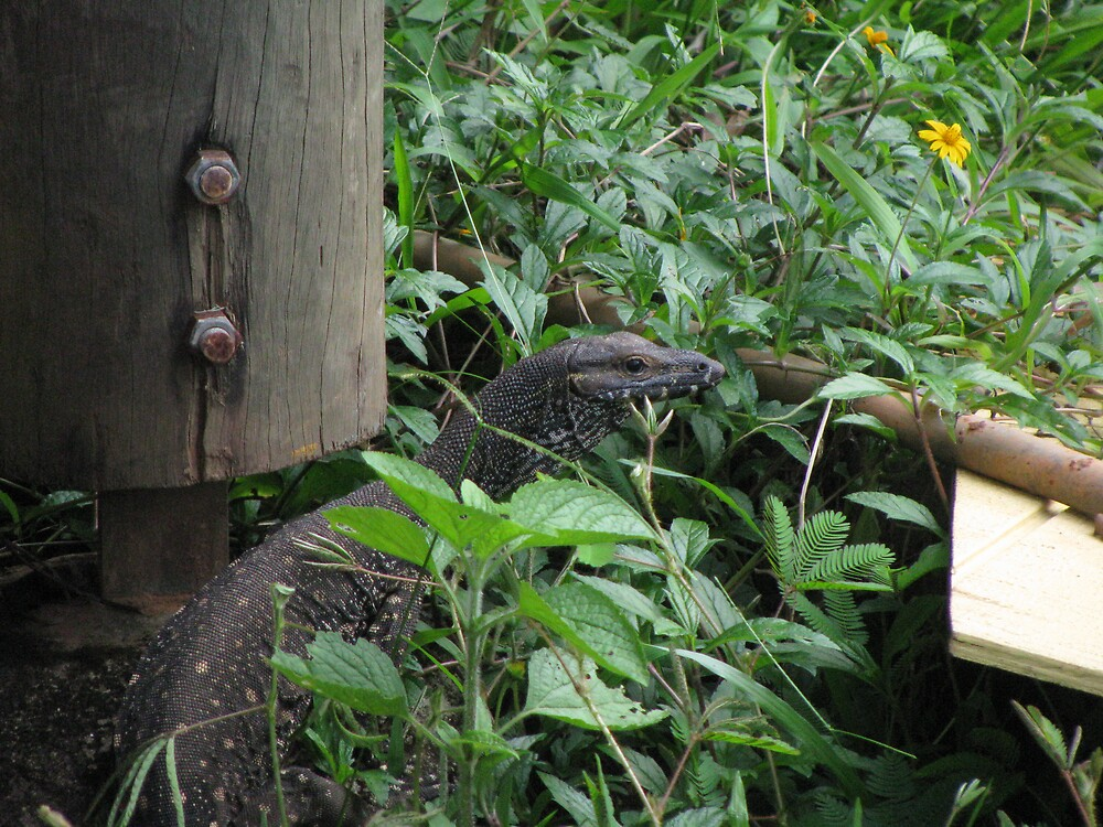 Our Resident Goanna by Sue Wickes