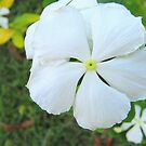 White Beauty Flower by James Cuellar