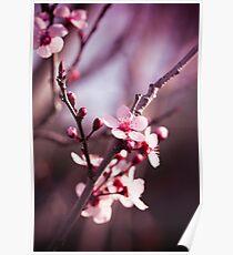 Sakura Blossoms Poster