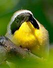 common yellow throat by Dennis Cheeseman