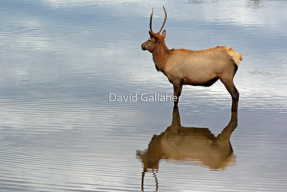 Elk by David Gallaher