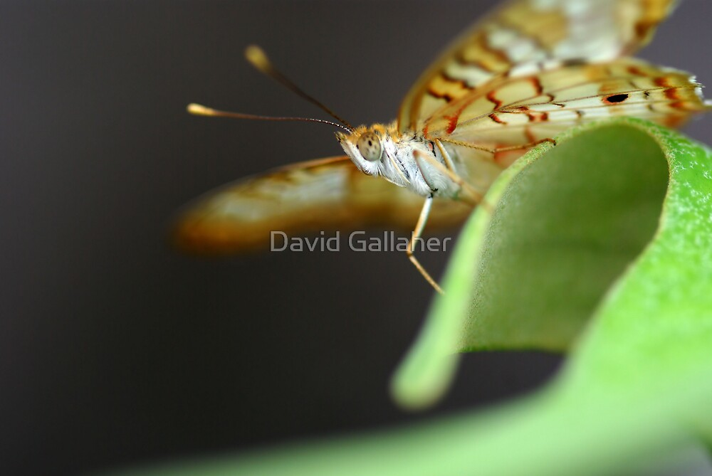 Butterfly by David Gallaher